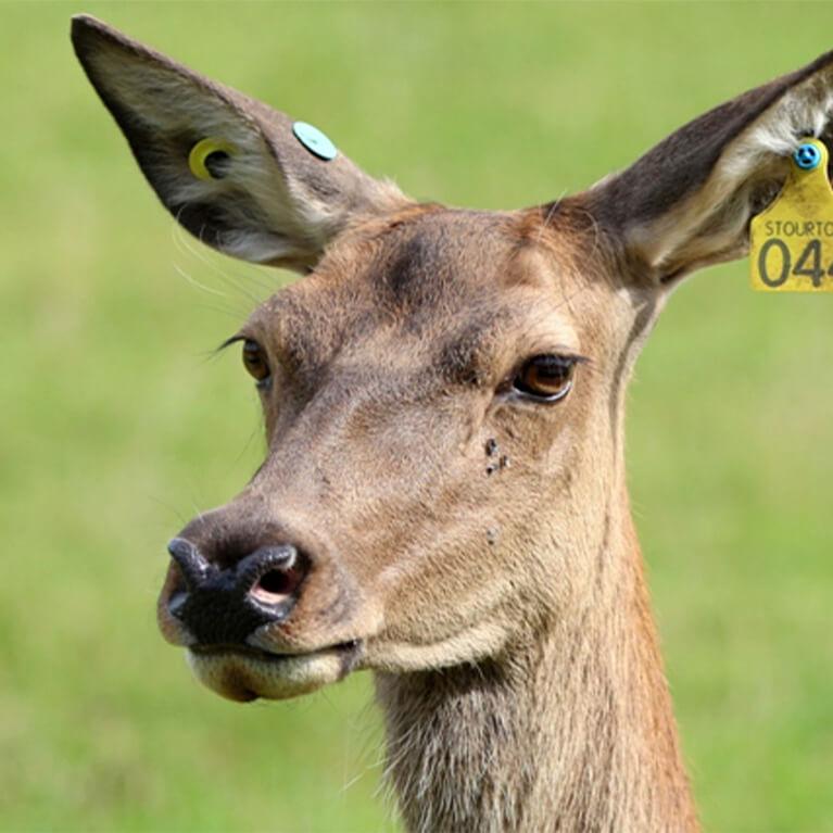Deer at Stourton Estates