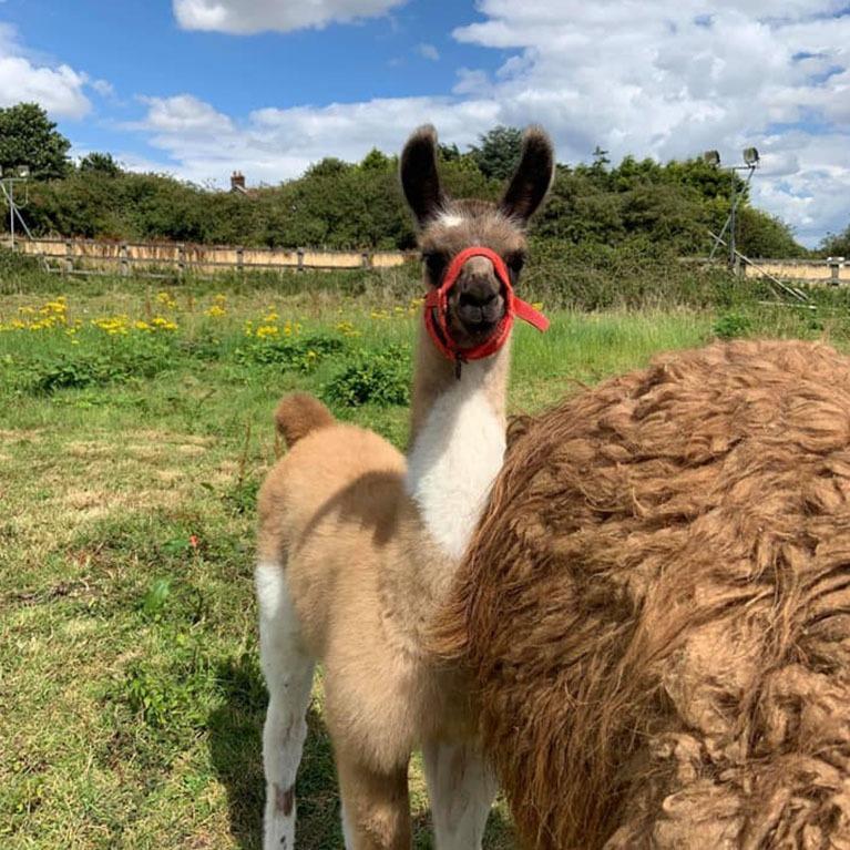 Louth Llama