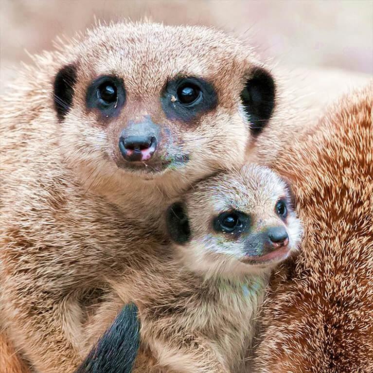 Meerkat Family at Woodside Wildlife Park