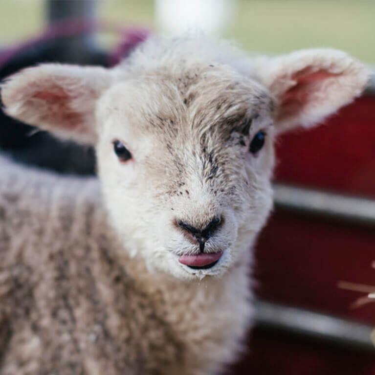 Pink Pig Farm Sheep