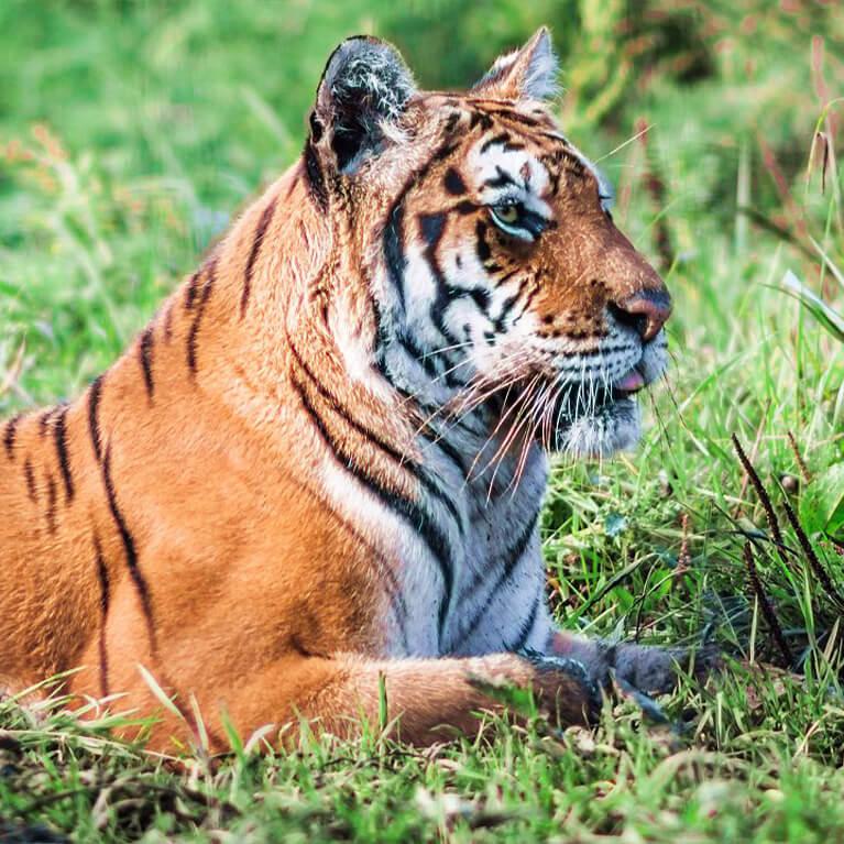 Tiger Woodside Wildlife