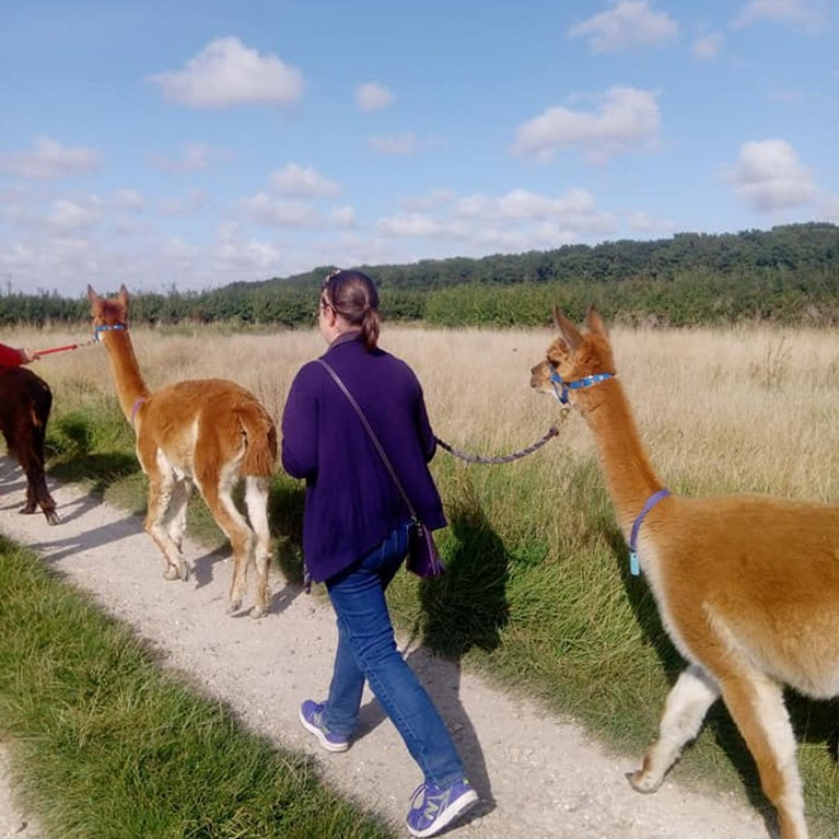 Walking with Alpacas