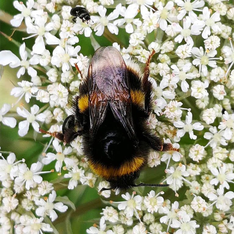 Waters' Edge Bee Photo by Rob Francis