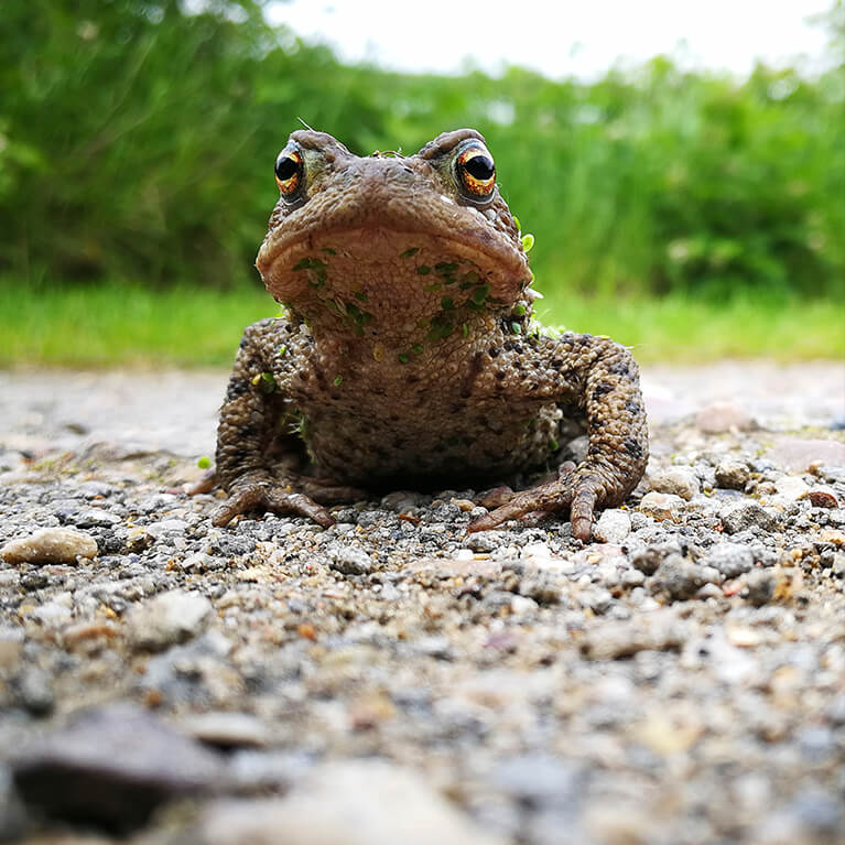 Waters' Edge Toad Photo by Rob Francis