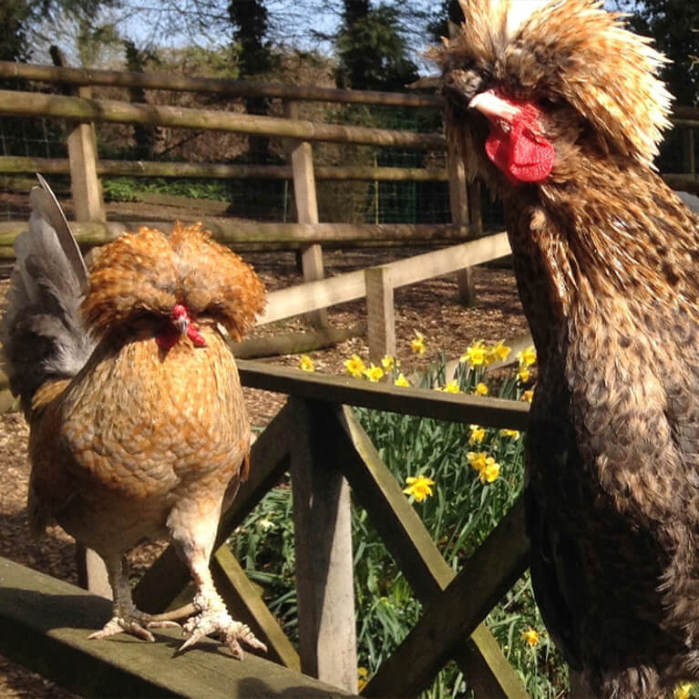 Claythorpe Chickens