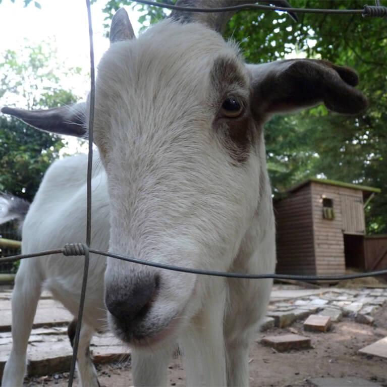 Claythorpe Goats