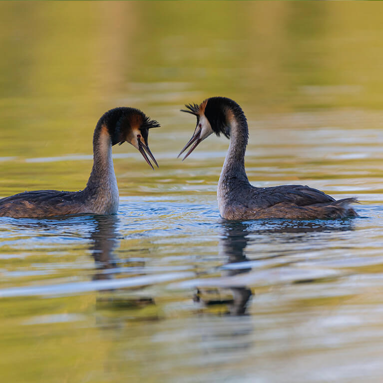 Great Crested Grebe Whisby