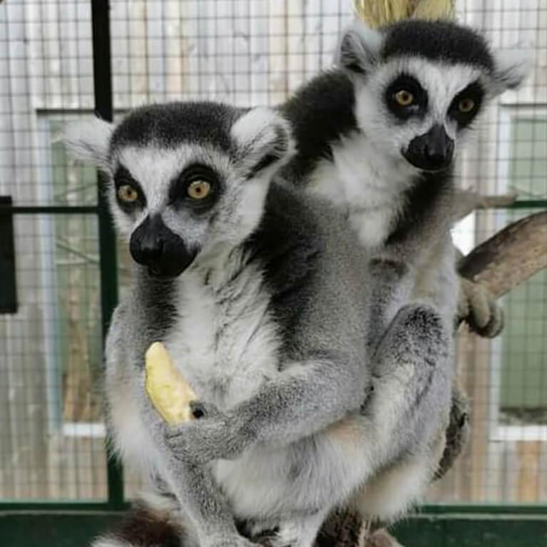 Jungle Zoo Lemurs