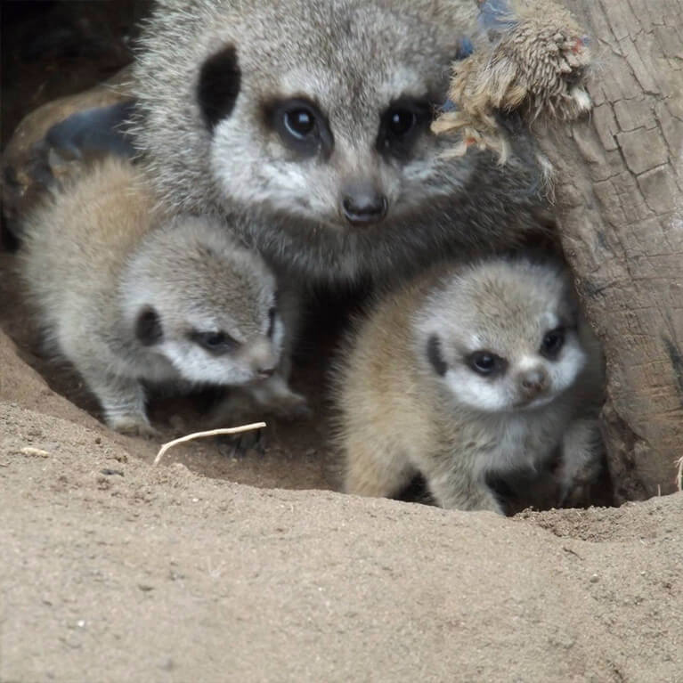 Jungle Zoo Meerkats