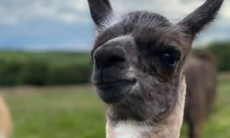 Louth Llamas